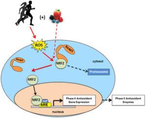 NRF2 factor de transcripcion activador